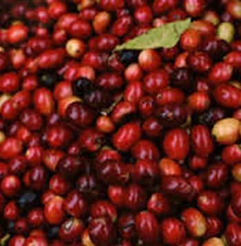 アサイーよりスゴイ果実が登場!?「コーヒーベリー」のすさまじい威力に、ハワイで話題沸騰
