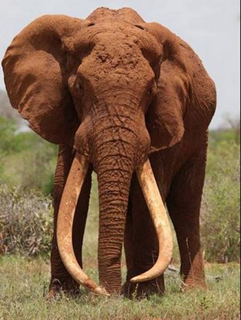 ケニアのみんなに愛された美しい牙を持つ象、サタオが密猟者の放った毒矢により悲惨な最期をとげる