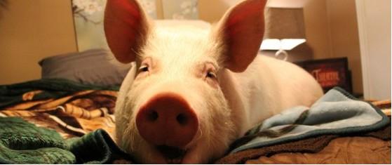 もし自分の家に90キロ以上の豚がいたら!?生きるチャンスを得た幸運な豚エスター、カナダ【動画有】