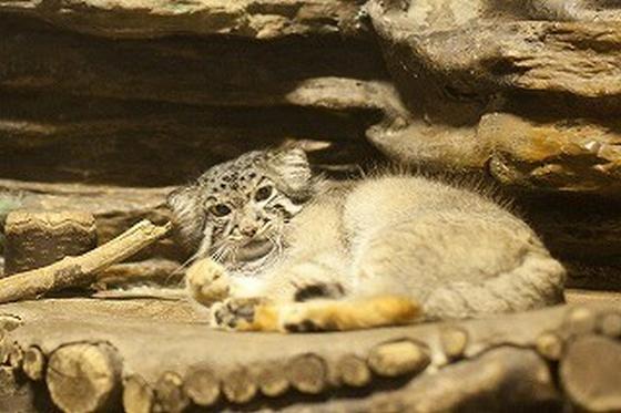 マヌルネコ 上野動物園で会える小さいヤマネコが可愛すぎると話題に