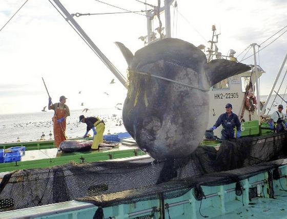巨大マンボウ 函館で網に 重さ1トン全長3メートル50超