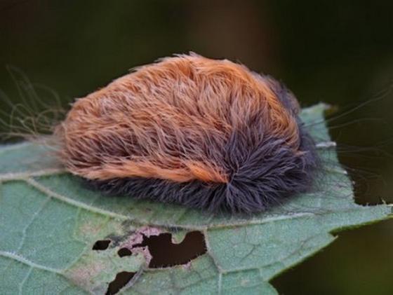 猛毒生物プス・キャタピラー 「ネコ毛虫」がアメリカで大発生!?ネコ毛虫って何?